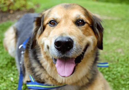 Den Hund von Bekannten oder Freunden auszuführen ist eine gute Möglichkeit, um Zeit mit Hunden zu verbringen