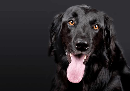 Der Hund als beliebtes Haustier
