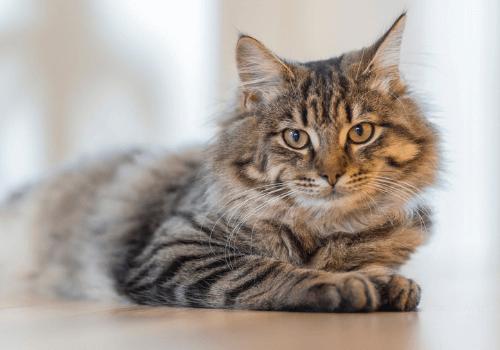 Die Katze als beliebtes Haustier