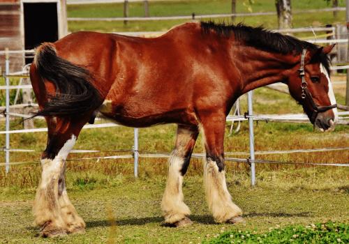Kaltblüter sind große, stämmige Pferde mit sanftem Gemüt