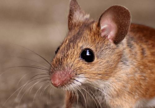 Mäuse werden als Haustiere immer beliebter