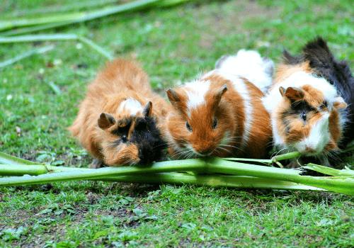 Nagetiere sind sehr beliebte Haustiere
