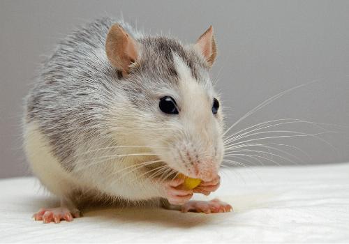 Ratten sind intelligente Tiere, die sehr zutraulich werden können