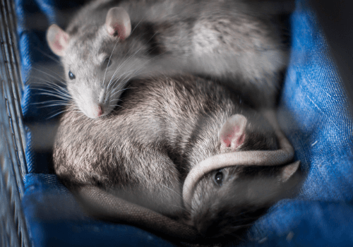 Ratten sind sehr soziale Tiere, die nur im Rudel gehalten werden dürfen