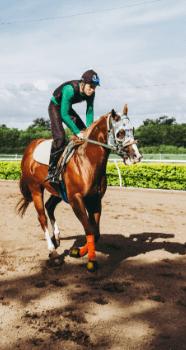 Vollblüter werden wegen ihrer Schnelligkeit vor allem als Rennpferde eingesetzt